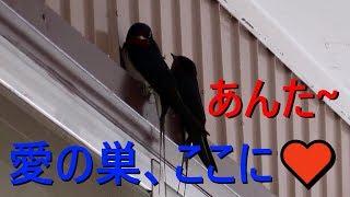 今年も燕がやってきまして巣作りの場所を探していました。犬(ボーダー...