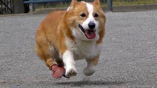 ゆっくり歩くと足を引きずるけど、走るときは足がわりと動くゴローさん...