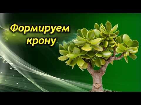 Как обрезать взрослое денежное дерево в домашних условиях видео