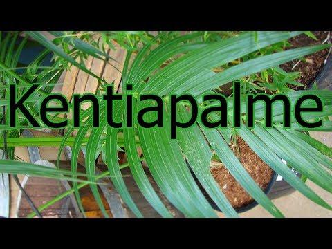 Kentiapalme: Aussehen, Standort und Pflege