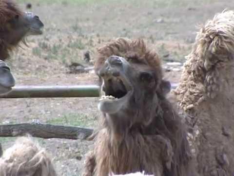 Как стригут верблюдов видео