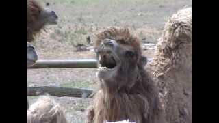 В Астраханской области стригут верблюдов