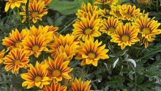 видео Гацания – выращивание из семян, когда сажать рассаду, посадка и уход с фото