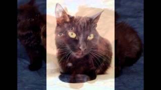 Шоколадный Йорк (Chocolate York cat) породы кошек( Slide show)!