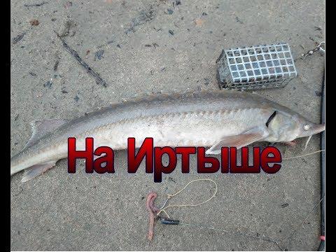 Ловим стерлядь на Иртыше на фидер Catch sturgeon on the Irtysh river at the feeder
