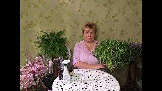 Хлорофитум - выращивание и уход.ЗдОрово в вашем доме!!!