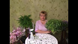 видео Хлорофитум