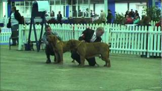Manchester Dog Show Dogue De Bordeaux Judging
