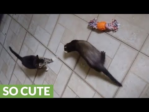 Ferret meets new kitten addition for the first time