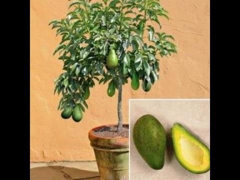 Как вырастить авокадо  How is avocado growing ЧАСТЬ 1