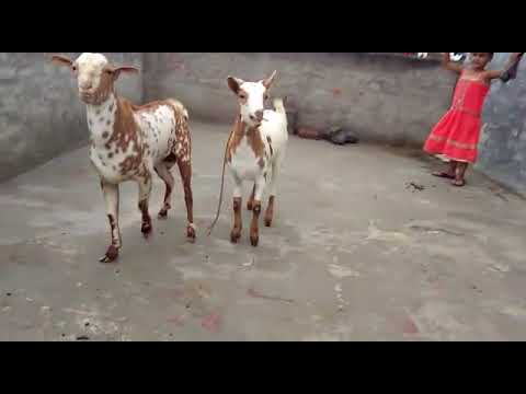 Barbri Goat Adult Pair For Sale  Male and Female Loaded  Weight 22 kg to  25kg  Age 11 Months