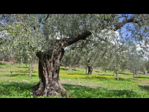 bachblüte-olive-oder-olivenbaum