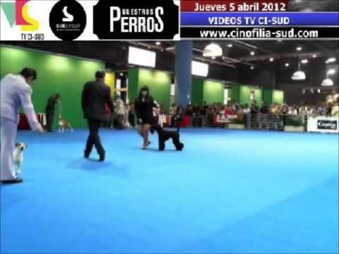 Kerry Blue Terrier: Shrek,the green puppy as a best junior of breed at FCA International Show 2012