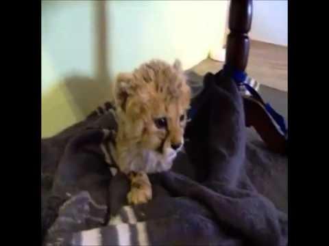 Little cheetah roar