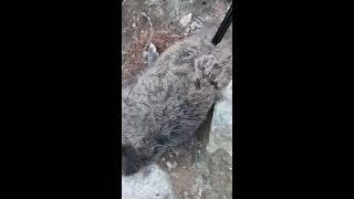 Kizseki Koyu Domuz Avi