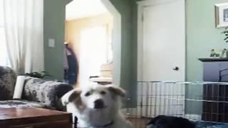 Cachorro vê fantasma no quarto do dono