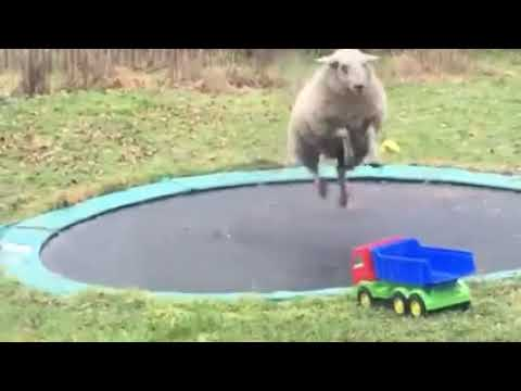 sheep-discovers-how-to-use-a-trampoline