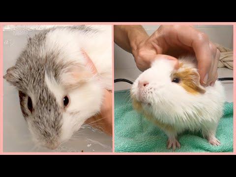 Guinea pig spa day