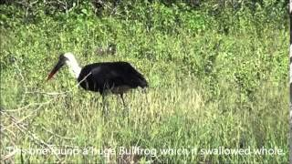 Stork catching a frog