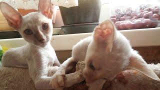 Корниш Рекс, Уход и содержание, Породы кошек