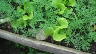 сеем и садим зелень спустя 16 дней