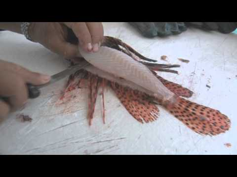 Filleting a Lionfish