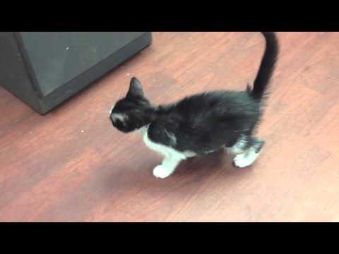 Cerebellar Hypoplasia Kittens