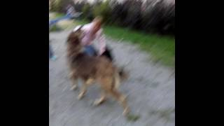 Капец баба. Собака vs Собака... и сумашетшая девочка.