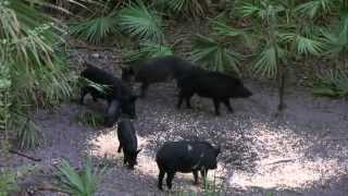 BIG HOG Crossbow Hunt in Florida | Hog Hunting