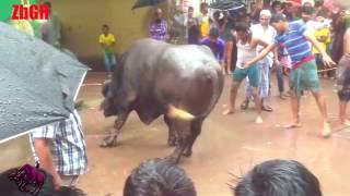 qurbani 2016 | Dangerous buffalo of xCricketer MD Rafiq from Anowar city agro | part 2 | ZbGH 2017
