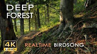 4K Deep Forest - 8 Hours NO LOOP Birdsong - Robin & Blackbird Singing - Relaxing Nature Ambiance