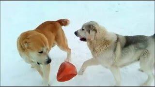 Сука играет с кобелем. Собаки породы Алабай. . Домашнее видео САО