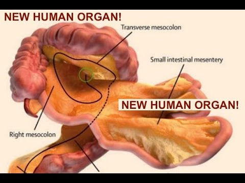 New Organ discovered inside human body - Rewriting Gray\'s Anatomy ...