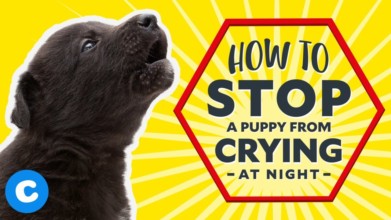 Puppy Crying At Night >> How To Stop A Puppy From Crying At Night Youtube