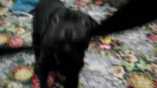 Shar Pei X Staffy Pup Vs. My Camera!