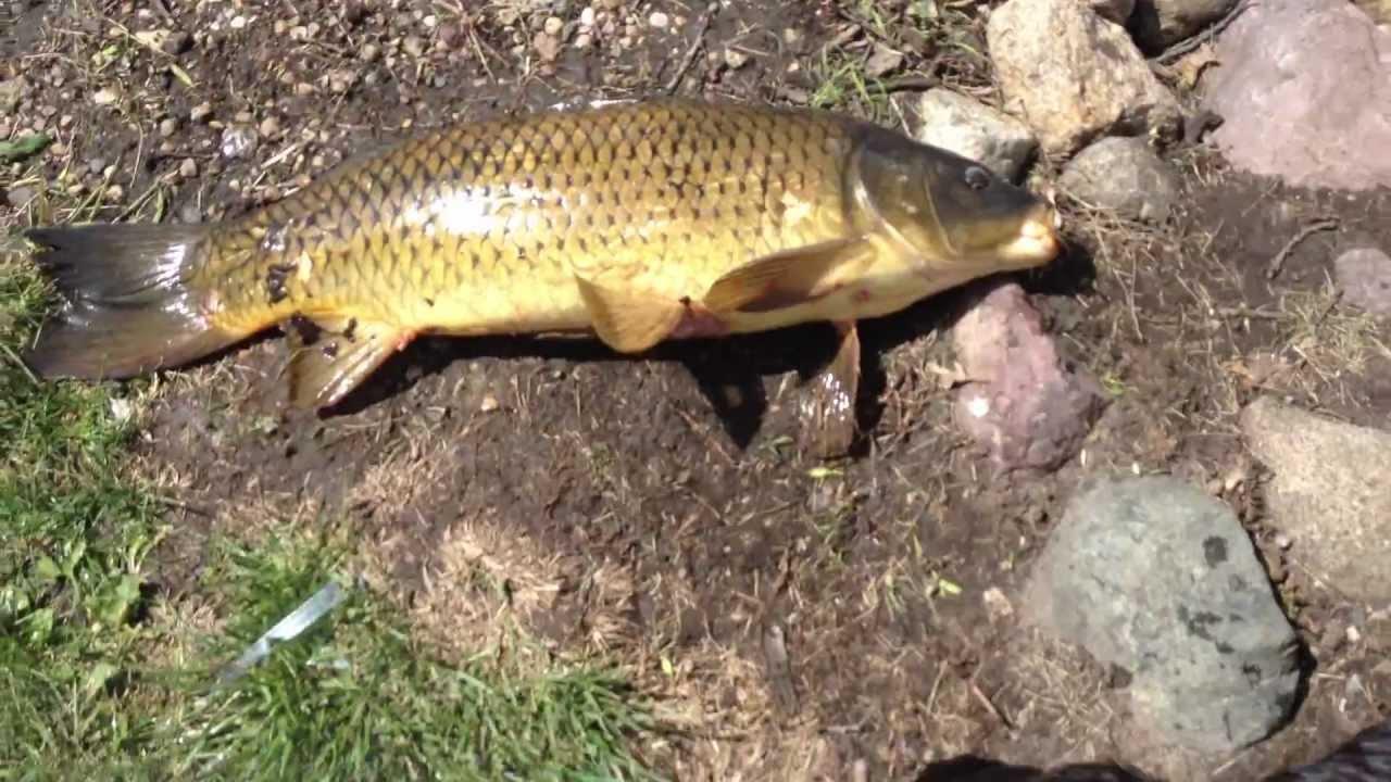 Handfishing for huge carp at big spirit lake iowa youtube for Iowa out of state fishing license