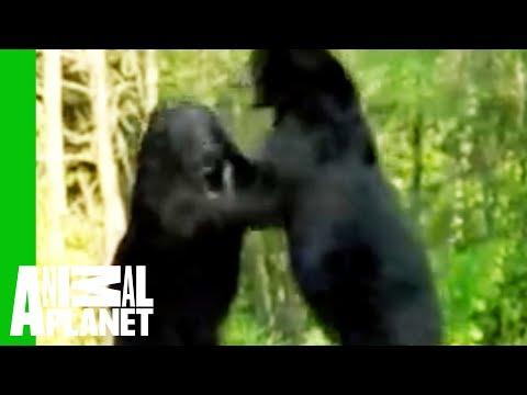 Animal Face-Off: Alligator vs. Black Bear