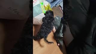 トイプードル×ヨークシャーテリア(ヨーキー) MIX子犬のアビー。 3ヵ月...