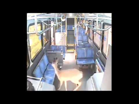 Surveillance: Deer crashes through windshield of Johnstown, PA CamTran bus & walks out front door