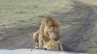 Lions  Making Love in Public