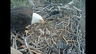 Big Bear Eagle Cam ~ Mom ~ Please Get This Stick Off Me!  2.16.18