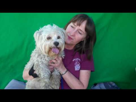 ADOPTED! A5014838 Boomer | West Highland White Terrier / Poodle Mix