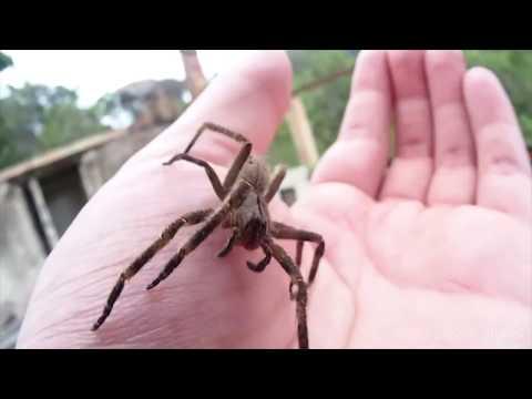 10 Grootste Spinnen Ter Wereld!
