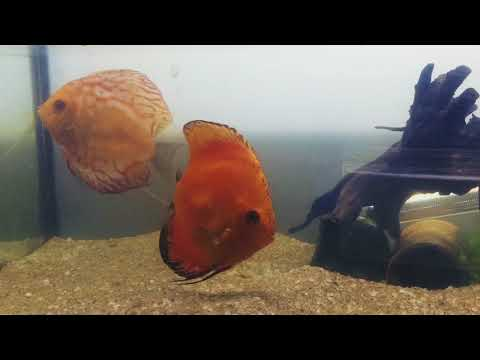 Discus Rescue ; How To Treat Internal Parasites
