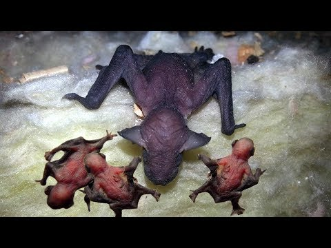 Mommy Bat Giving Birth With A Little Help From Her Friends- Story Animal Giving Birth