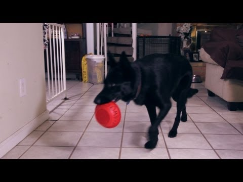 Smart Dog Bringing its own Plate to the Kitchen - German Shepherd