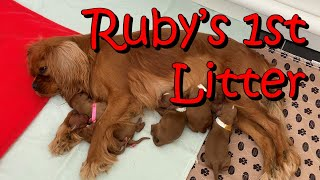 Cavalier King Charles Spaniel Birth Rubys 1st Litter Puppies
