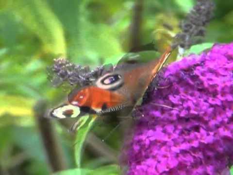 Schmetterlinge in AlbinZ Garten