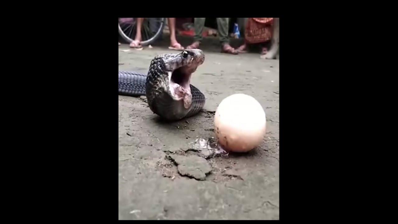 Download Shocking!!!!!! Cobra snake swallows two giant Egg