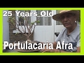 A 25 year old Portulacaria Afra, Pruning leggy branches -Part 2